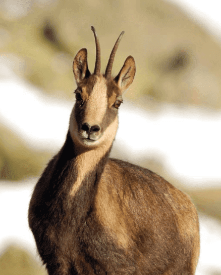 A chamois looking at the camera.