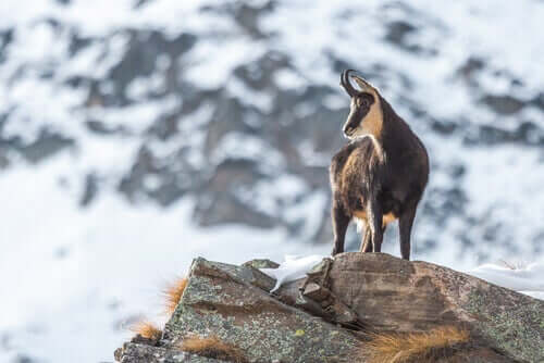 A chamois on top of the world.