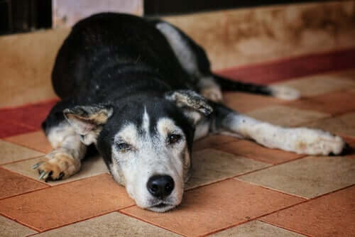 A sad looking dog lying down.