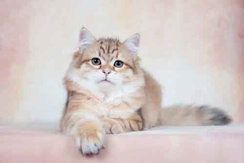 A Siberian cat.