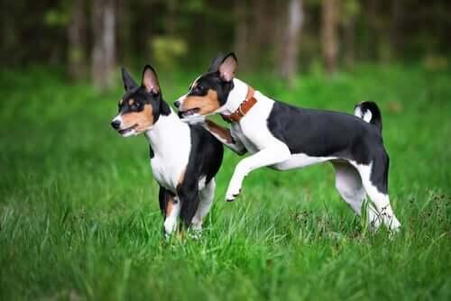 Basenji dogs.