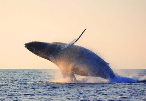 A blue whale jumping into the sea.
