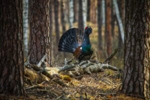 The capercaillie.