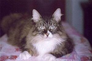 Scandinavian cat breeds.