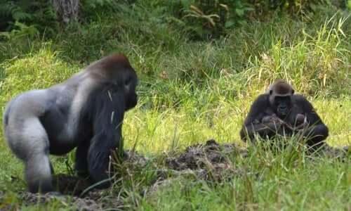 A few gorillas in a field.