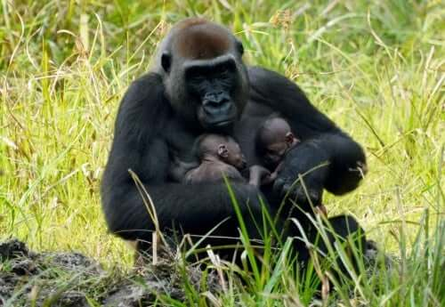 A mother gorilla with her babies.
