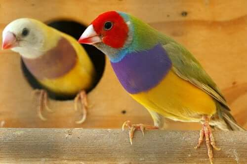 The Gouldian finch.