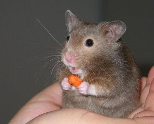 A hamster eating a treat.