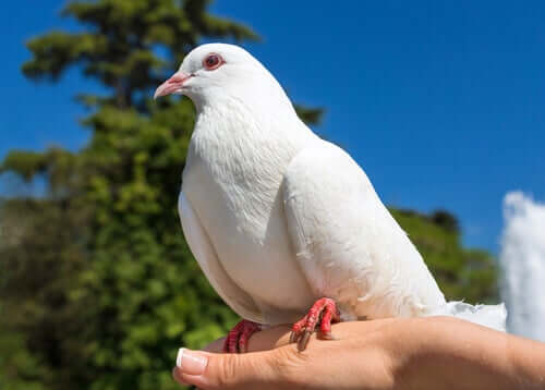 A dove perched on a hand.