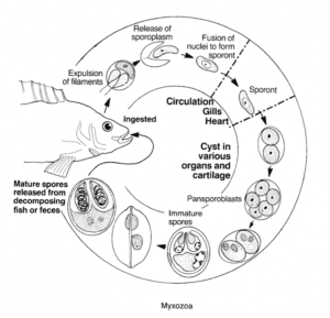 Myxozoa are single-celled parasites.