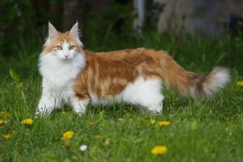 Discover the Majestic Norwegian Forest Cat