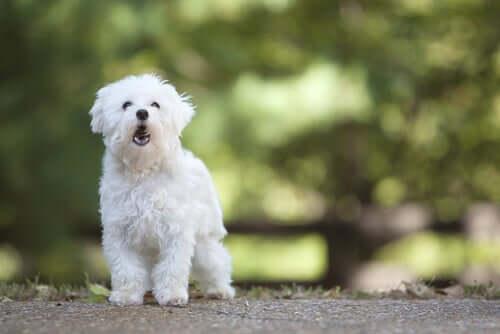 A small barking dog.