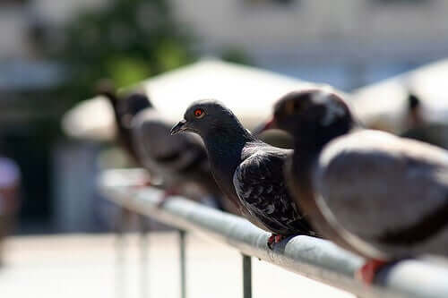 Pigeons in Big Cities: A Major Plague
