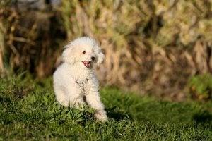 A white poodle.
