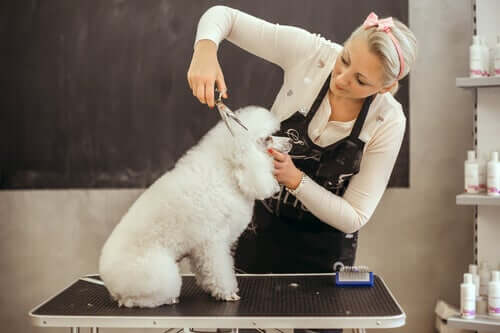 Clipping a poodle's fur.