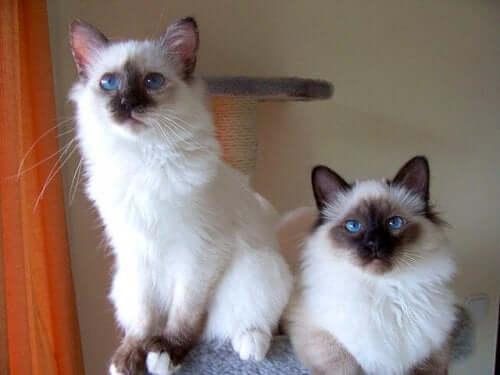 Two sacred cats of Burma.