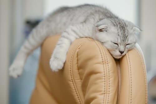 A Scottish fold sleeping.