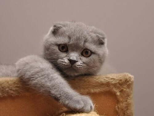 The Scottish Fold: The World's Sweetest Cat