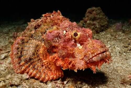 A stonefish.