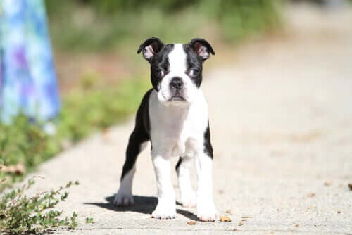 Strabismus in Dogs: Causes and Treatment