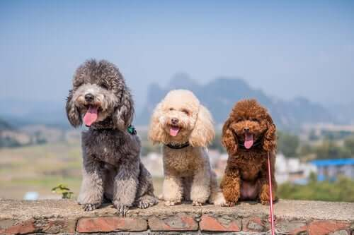 Poodles come in 3 sizes.