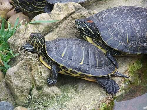 Two turtles on a stone.