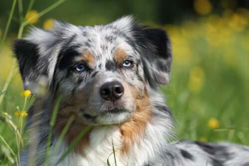 A closeup of an Australian Shepherd.