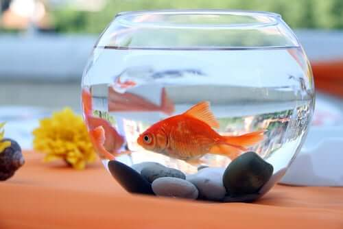 A goldfish in a glass bowl.