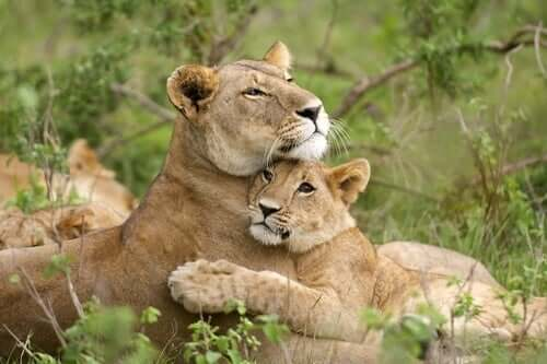 A lion and a cub.