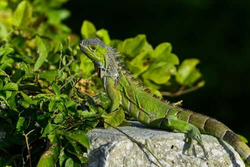 An iguana on a rock.