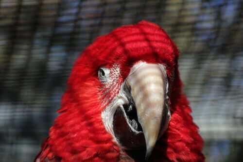 Close up of a red parrot.