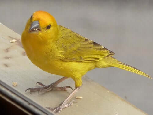 A yellow bird.