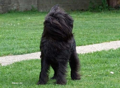 An Affenpinscher in the grass.
