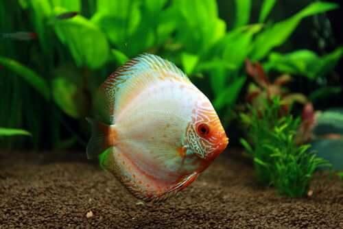 An aquarium fish.