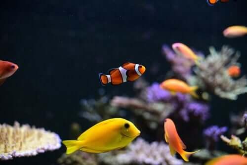 Aquarium fish in a fish tank.