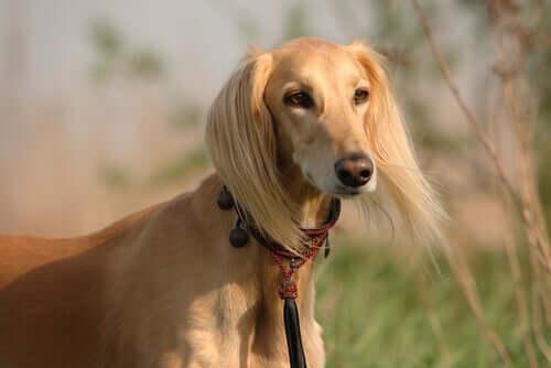 The Saluki hound breed.