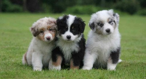 Three puppies on a lawn.