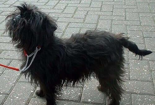 All About the Affenpinscher Dog Breed