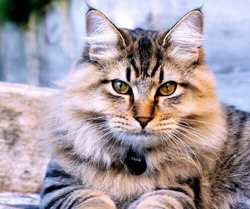 An American Bobtail cat.