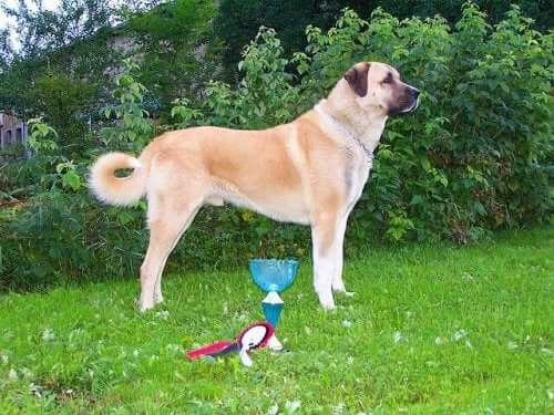 The Anatolian Shepherd Dog from Central Turkey