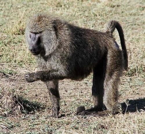 A baboon eating from the ground.