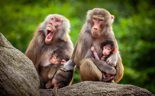 Meet the Baboon: Its Habitat, Characteristics, and Behavior
