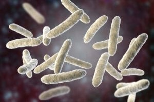 Bacterial flora in the gut.