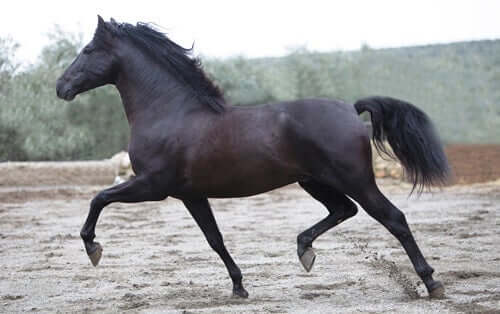 The Andalusian or Pure Spanish Horse