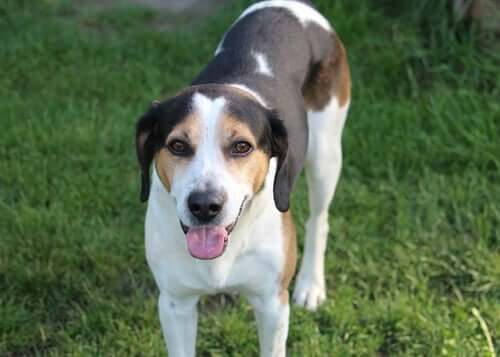 Retained Testicle or Cryptorchidism in Dogs