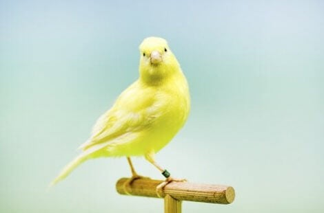 A pretty canary looking at the camera.