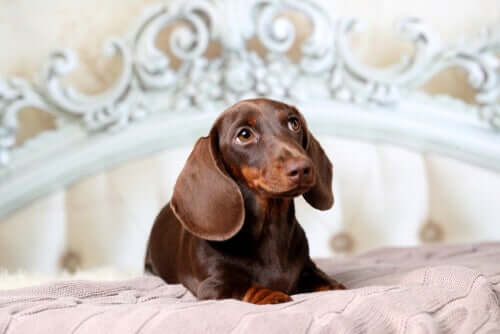A dachsund lying on a bed.