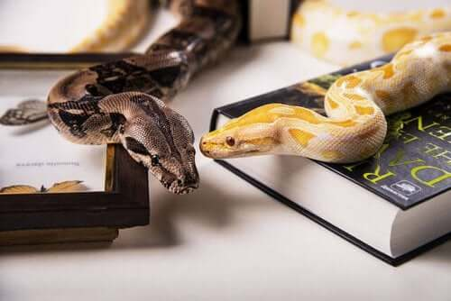 Exotic Pets – Types of Domestic Snake