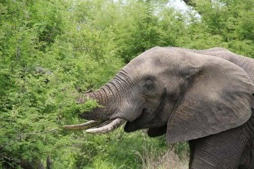 An elephant eating plants.
