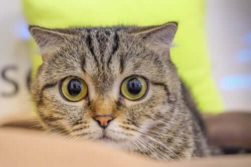 Hypertension in Cats